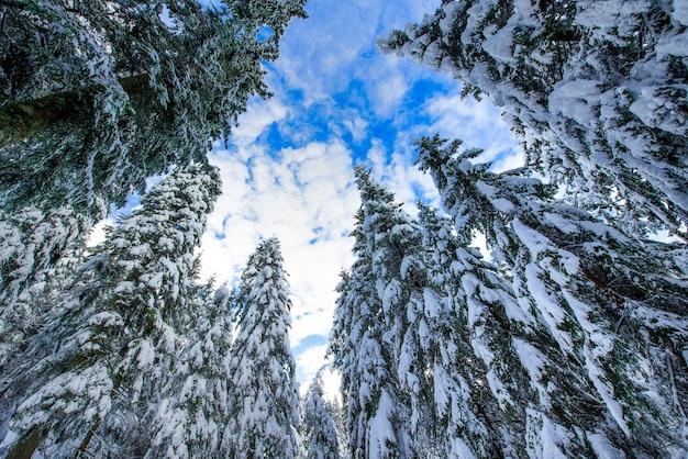 Alti alberi di abete rosso dopo forti nevicate