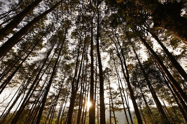 Albero alto nella foresta con luce solare e raggi al tramonto.