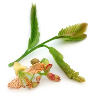 Fiore di tamarindo con foglie tenere su sfondo bianco