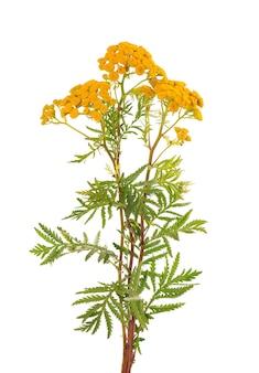 Tanaceto o tanacetum vulgare fiori, isolati su sfondo bianco. pianta medicinale a base di erbe.