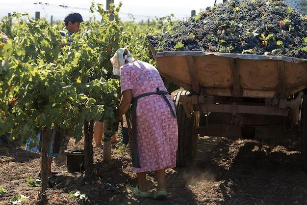 Taraclia, moldavia, 15.09.2020. agricoltori che raccolgono l'uva da un vigneto. raccolta autunnale.