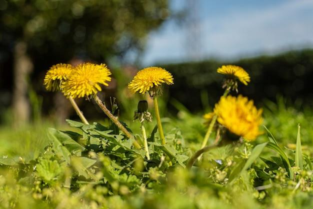 Taraxacum fiore circondato da erba verde a primavera