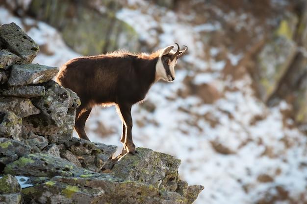 Tatra camoscio arrampicata su pietre nella natura invernale