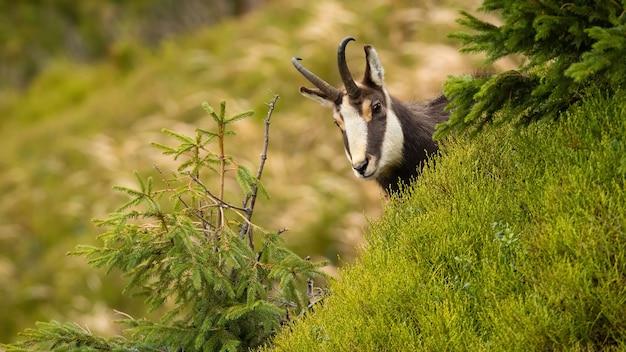 Camoscio di tatra che dà una occhiata dalla collina nella natura di estate.
