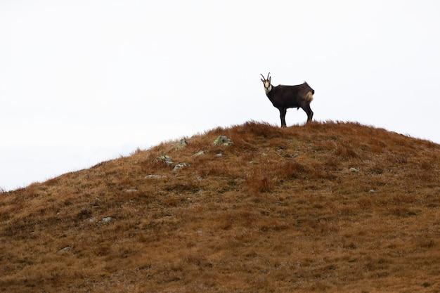 Tatra camoscio in piedi in lontananza sull'orizzonte della collina con sfondo bianco