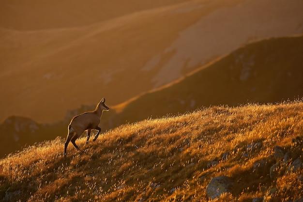 Camoscio di tatra che cammina nelle montagne retroilluminate in ther mattina