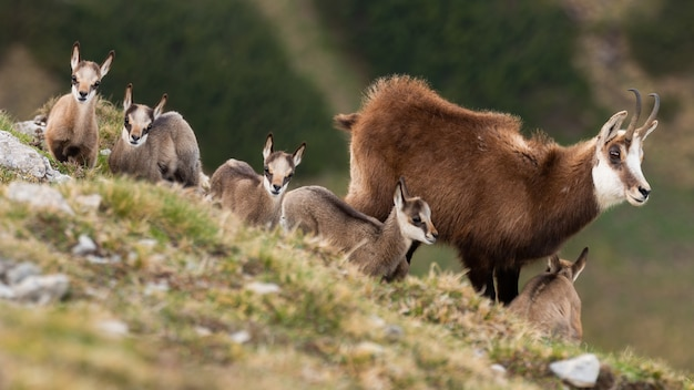Camoscio dei tatra con bambini in piedi sulle montagne in primavera
