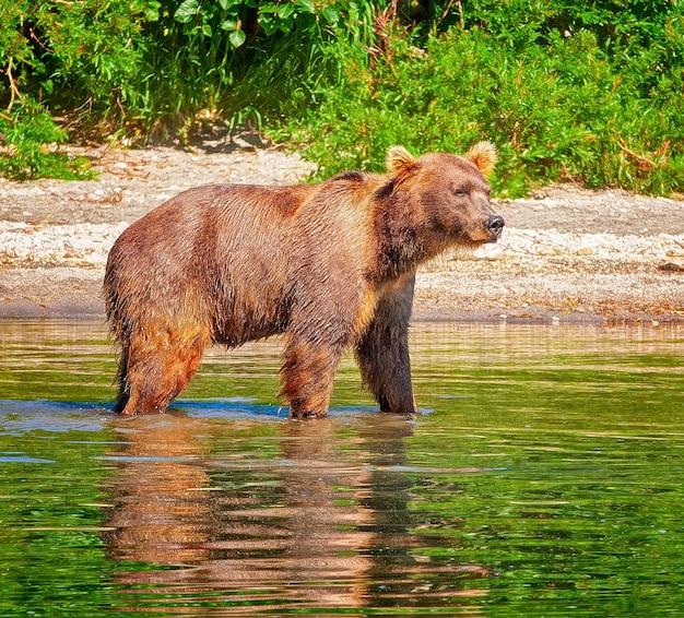 La tassidermia di un orso bruno della kamchatka su sfondo bianco