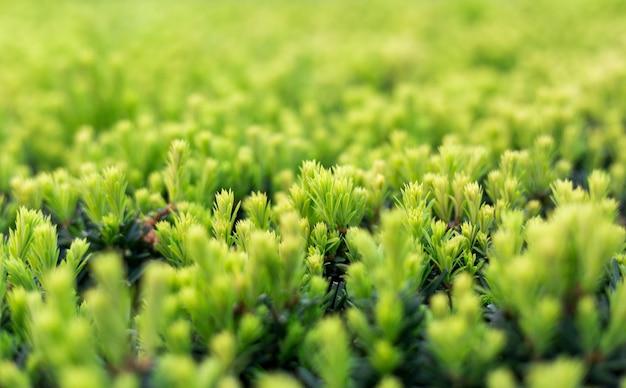 Cespuglio di taxus baccata in giardino. messa a fuoco selettiva. albero di imbardata verde