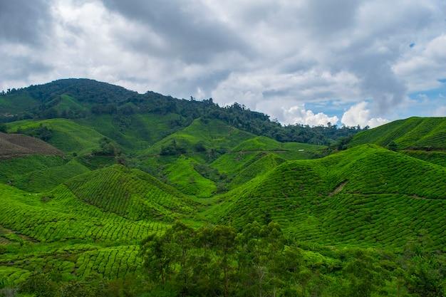 Fattoria del tè all'altopiano del camerun
