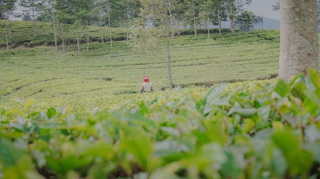 Coltivatore di tè che controlla il suo tè