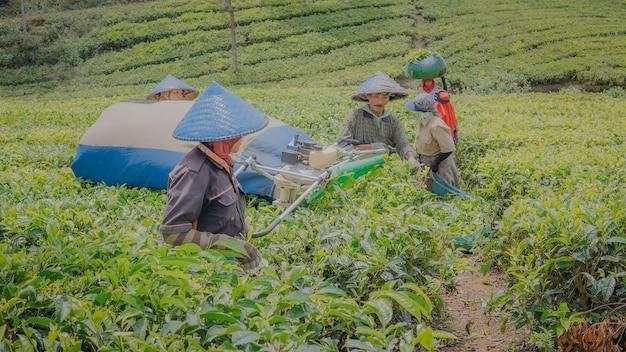 Coltivatore di tè al lavoro