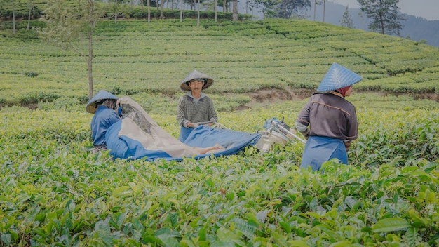 I coltivatori di tè eseguono il processo di raccolta nel giardino del tè