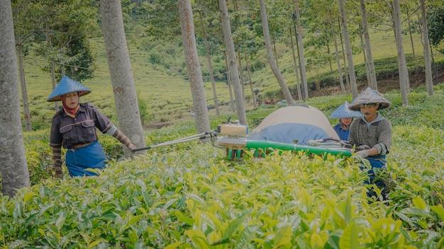 Coltivatori di tè che svolgono attività di raccolta del tè con l'aiuto di strumenti per la raccolta del tè