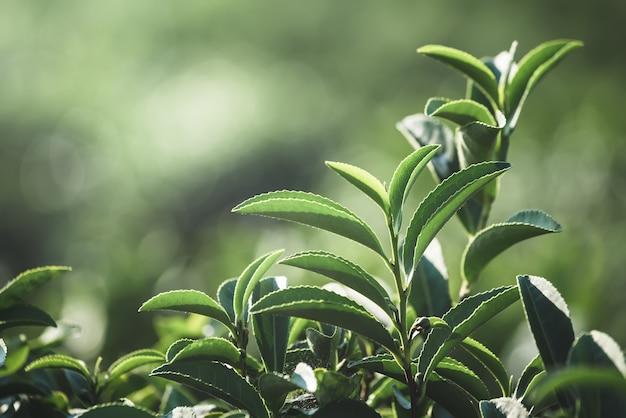 Coltura di foglie di tè