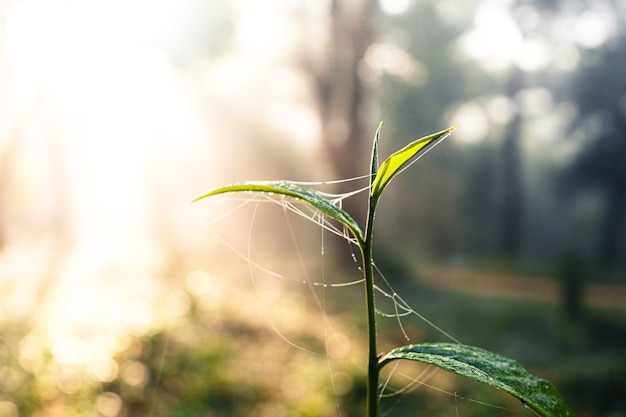 Foglie di tè germogli di tè verde al mattino in fattoria