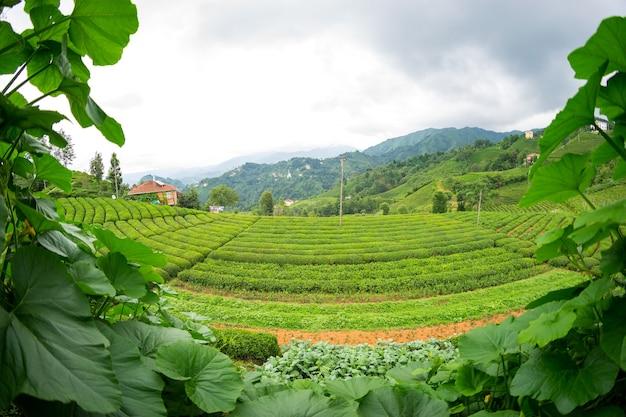 Paesaggio della piantagione di tè, rize, turchia