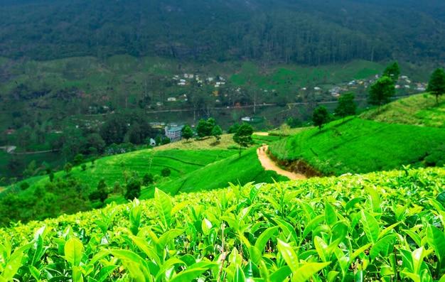 Piantagione di tè. sfondo della natura