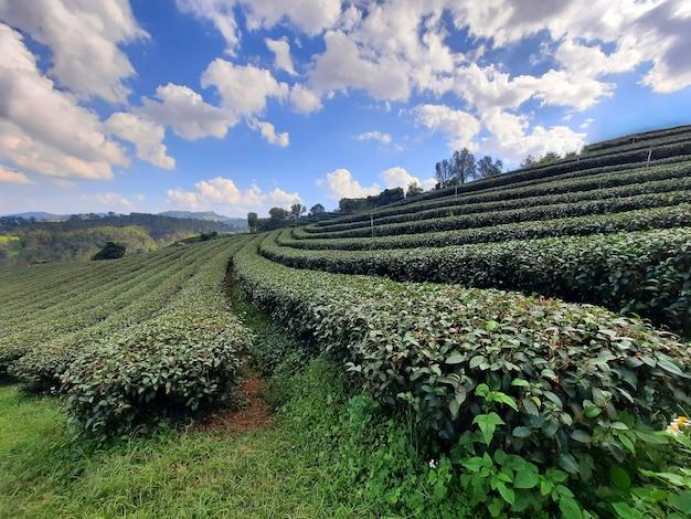 Paesaggio della natura della piantagione di tè a chiang rai,