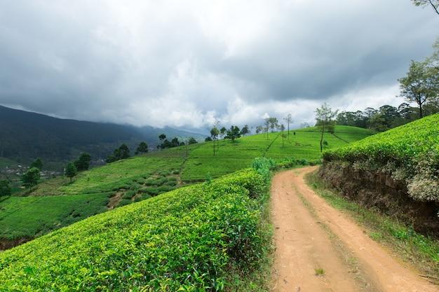 Piantagione di tè in sri lanka