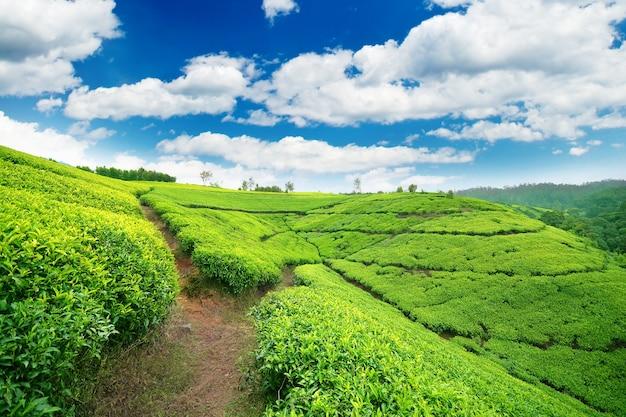 Piantagione di tè nell'entroterra dello sri lanka