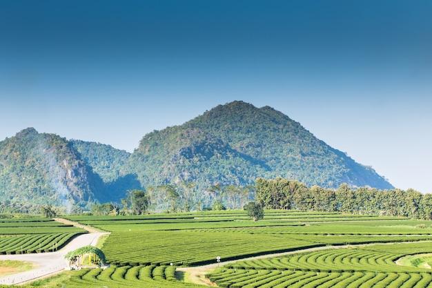 Piantagione di tè con sfondo di montagna
