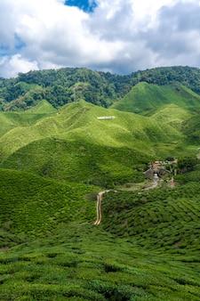 Piantagioni di tè cameron valley. verdi colline negli altopiani della malesia.