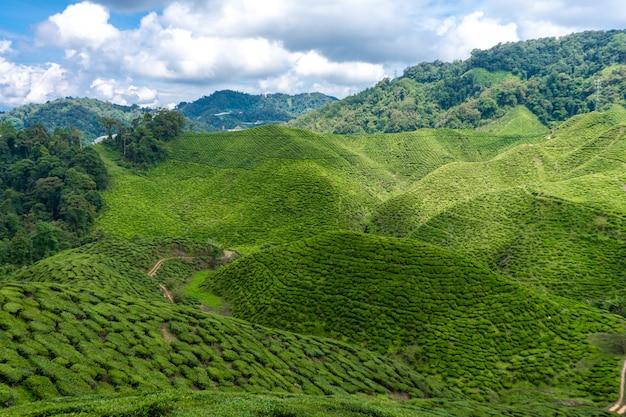 Piantagioni di tè cameron valley. verdi colline negli altopiani della malesia