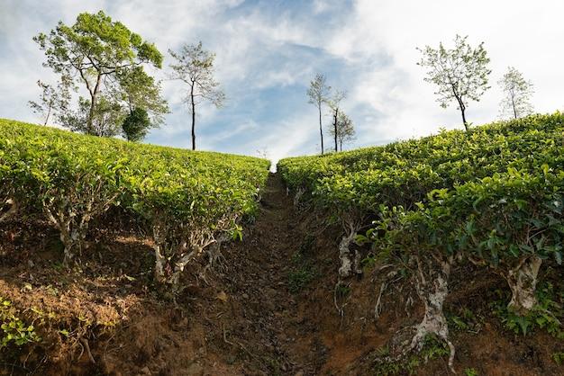 Paesaggio verde delle piantagioni di tè a nuwara eliya