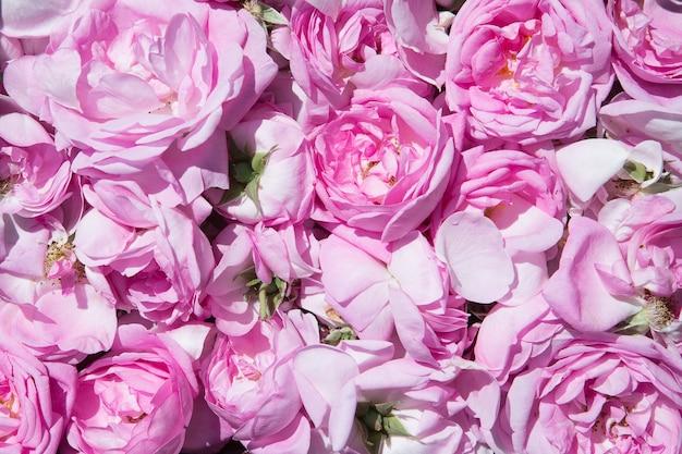 Petali di rosa tè produzione di olio di rosa