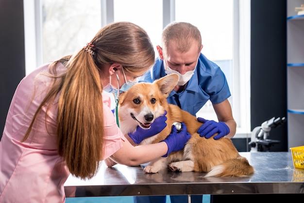 Un team di veterinari esamina un cane corgi malato usando uno stetoscopio