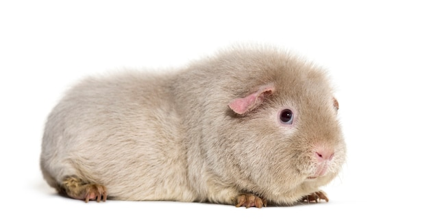Teddy guinea pig, contro uno sfondo bianco