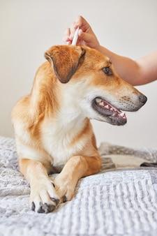 Adolescente che gocciola gocce contro pulci e zecche su un simpatico cane dai capelli rossi