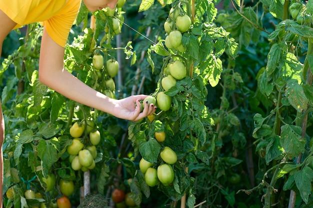 Adolescente che raccoglie i pomodori dalle piante, concetto agricolo