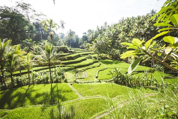 Terrazze di riso tegalalang a ubud, bali
