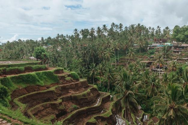 Terrazze di riso di tegallalang a bali indonesia
