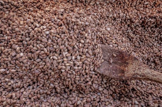 Misurazione della temperatura delle fave di cacao fermentate in botti di legno, per mantenere la qualità del sapore del cacao cocoa