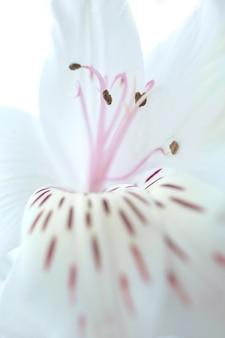 Tenero sfondo floreale di petali di fiori di alstroemeria, pistilli e stami