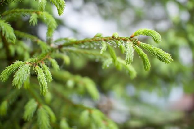 Teneri ramoscelli freschi di abete rosso e pino in gocce di pioggia e rugiada nel parco in una giornata di sole primaverile.