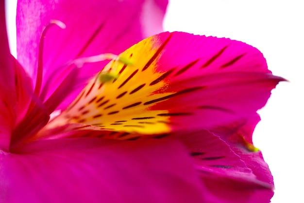 Teneri petali, pistilli e stami di alstroemeria peruvan incas lilly flower