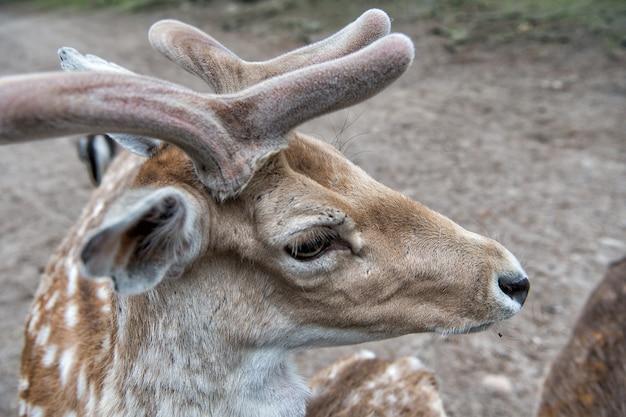 Teneri corni morbidi di piccoli animali cervo stupendo vicino cervo in ambiente naturale natura