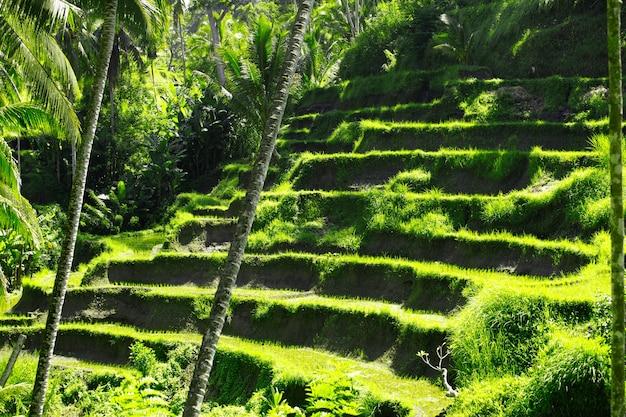 Campi di riso terrazza in ubud a bali, indonesia