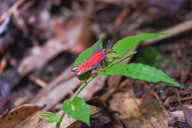 Tessaratoma rosso piccolo insetto closeup
