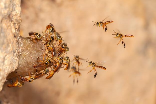 Tetragonisca angustula jatai bess in volo ravvicinato - ape senza pungiglione