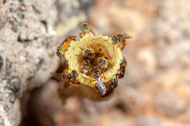Tetragonisca angustula jatai hive close - ape senza pungiglione