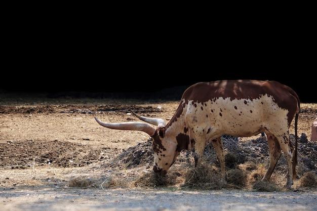 Mucca del texas longhorn in un parco naturale.