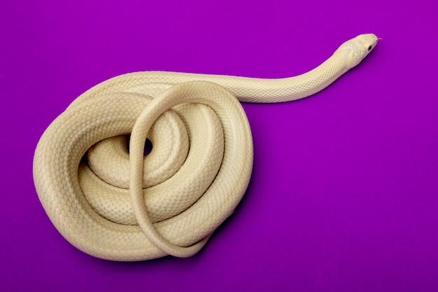 Il serpente di ratto del texas (elaphe obsoleta lindheimeri) è una sottospecie di serpente di ratto