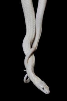 Il serpente del ratto del texas (elaphe obsoleta lindheimeri)