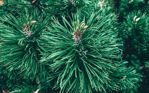 La trama dell'abete come simbolo del nuovo anno e del natale. close-up di ramoscelli di abete in un bel colore verde. sfondo verde naturale.