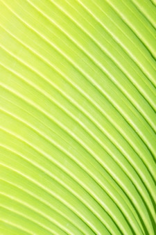 Texture di foglia di palma verde fresca con sfondo macro vena